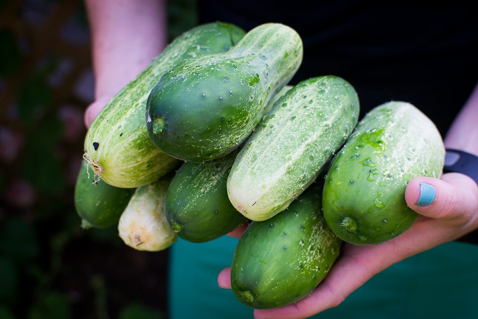 cucumber, wildlife habitat, garden